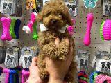 Veteriner Teknikerinden Sevimli Toy Poodle Yavrumuz