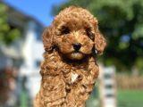 Red Brown Toy Poodle Kizimiz