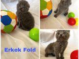 Sağlıklı Scottish Straight Kedilerim Yeni Yuvasını Arıyor