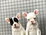French Bulldog Kizlarimiz