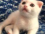 Scottish Fold Beyaz Tesli̇me Hazir Çok Özel Son 2 Yavru