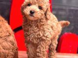 Black Toy Poodle Yavrular Ek