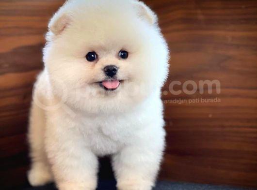 Sevimli Sempatik Pomeranian Boo Oğlumuz Hugo