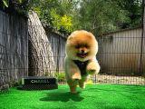 Sevimli Ve Sempatik Pomeranian Boo Kızımız Molly