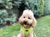 Medium Poodle Bal Barney