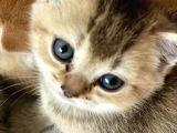 British Tabby Golden Yavrular Yeni Aileleri İçin Hazırlar
