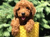 Red Brown Prenses Toy Poodle