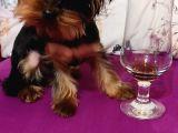 Yorkshire Terrier Sifir Numara A Kalite