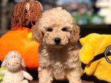 Apricot Toy Poodle Yavrular