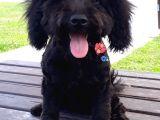 Poodle Siyah