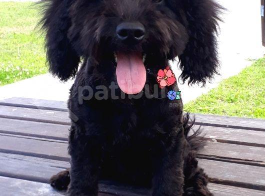 Poodle Siyah Antalya