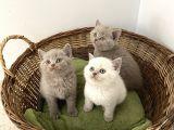 British Shorthair Yavrularımız Yeni Ailelerini Arıyorlar