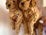 2 Aylık Hem Erkek Hem Dişi Toy Poodle Orijinal