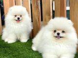 Teddy Bear Pomeranian Boo Yavrularımız
