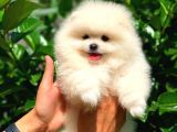 Safkan Pomeranian Boo Arayanlara