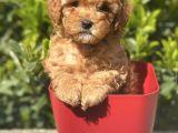 Safkan Toy Poodle Yavrularimiz İrk Garantili