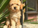 Sakfan Toy Poodle Yavrularimiz İrk Garantili