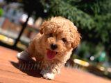 Disi Erkek İrk Garantili Toy Poodle Yavrularimiz
