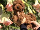 Safkan Irk Toy Poodle Yavrularımız