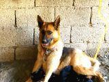 %100 Orijinal Safkan Alman Kurt Köpeği Yavruları