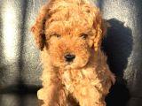 Di̇şi̇ Red Toy Poodle Yavrumuz