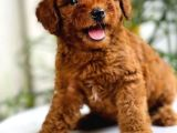 Safkan Irk Garantili Toy Poodle Yavrularimiz