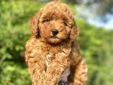 Renk Renk Poodle Yavrularımız