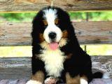 Fci Şecereli Bernese Mountain Dog