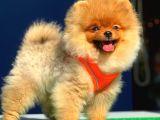 Pomeranian Boo Yavrular Gelmiştir