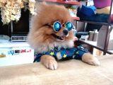 Tatlı Pomeranian Boo