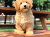 Renkli Terrier Değil Safkan Maltipoo Arayanlara
