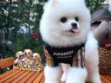 Yaşıtlarının En İyisi Erkek Ve 5.5 Aylık Pomeranian Yavrusu