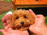 Yavru Patilerden 4.5 Aylık Dişi Toy Poodle Yavrumuz