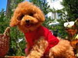 Irk Ve Sağlık Garantili 4.5 Aylık Dişi Toy Poodle Yavrumuz