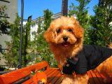 Sevimli Toy Poodle Cinsi Oğlumuz Gogo 4.5 Aylık