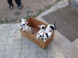 Sevimli French (Fransız) Bulldoglar