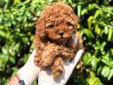 Toy Poodle Yavrular
