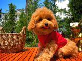 Orijinal Renk Safkan Red Brown Toy Poodle Kızımız Krema