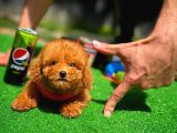 AA Kalite Safkan Toy Poodle Yavrularımız