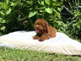 Poodle Toy Red Brown