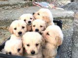 Golden  Retriever Yavrularımız