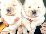 Chow Chow (Çin Aslanı) Yavruları