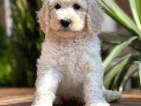 Dev Standart Poodle Yavrular
