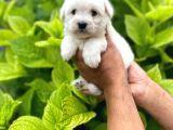 Tatlı Maltese Terri̇er Yavruları