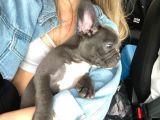 3 Aylık Blue French Bulldog