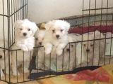 Mükemmel Maltese Terrier Yavrularımız