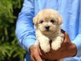 Yakışıklı Maltese Terrier
