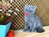 Sıcakkanlı Safkan Blue British Shorthair Yavrumuz Micho