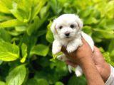 Sevimli Maltese Terrier