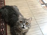 British Shorthair Silver Tabby 1 Yaşında Dişi Kısırlaştırılmış